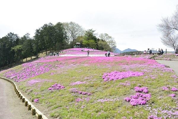 みさと芝桜公園 芝桜
