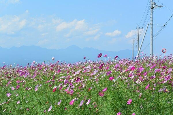 空の下一面に広がるコスモス畑 鼻高展望花の丘 高崎市 コスモス祭り