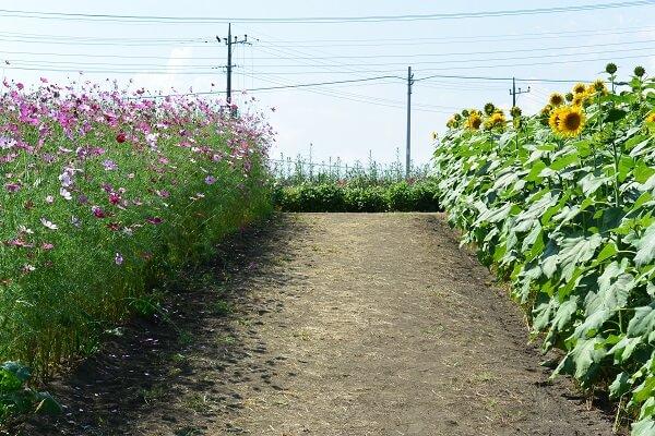 コスモスの花とひまわりの花のコラボ 鼻高展望花の丘 高崎市 コスモス祭り