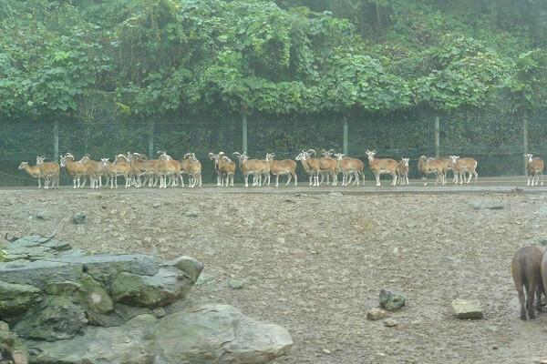 アメリカエルクの群れ 群馬サファリパーク