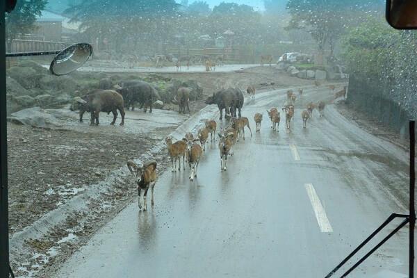 アメリカエルクとアメリカバイソンの群れ 群馬サファリパーク