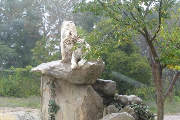 ホワイトタイガー 群馬サファリパーク