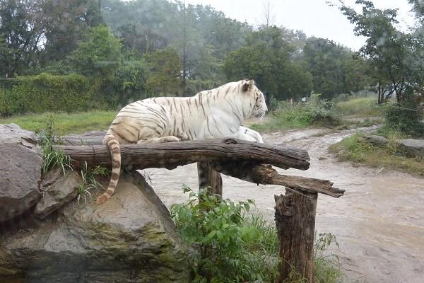 トラ・ライオンゾーンのホワイトタイガー 群馬サファリパーク