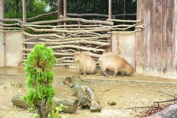 カピバラ 群馬サファリパーク