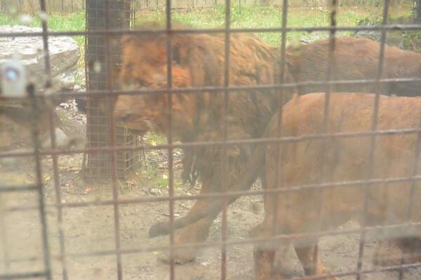 ライオン 群馬サファリパーク