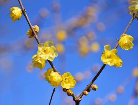 ろうばいの花2