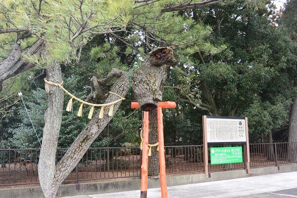玉村八幡宮 松