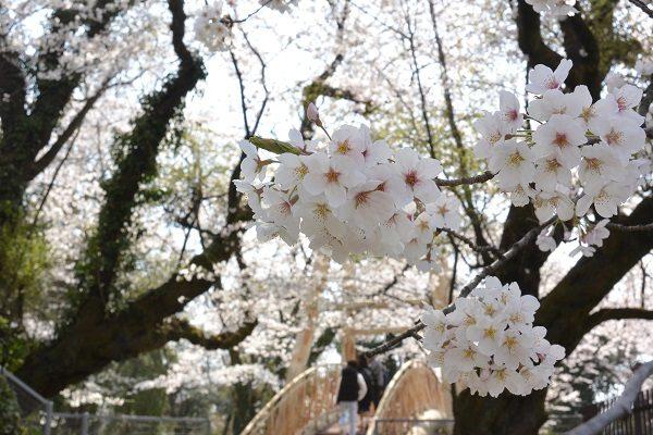 渋川市周辺桜スポット 桜