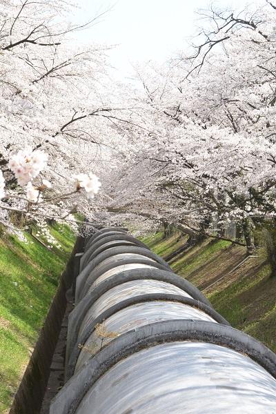 渋川市周辺桜スポット 佐久発電所