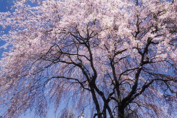 宝積寺の樹齢140年余りのしだれ桜
