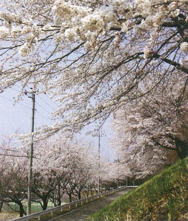 渋川市 伊香保温泉 お花見 おすすめ 桜スポット
