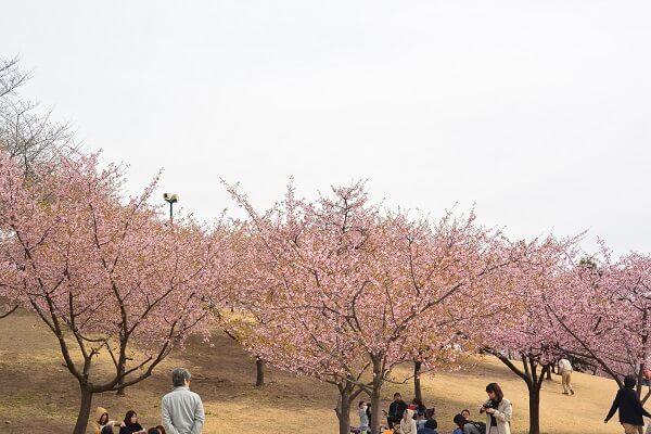 いせさき市民のもり公園 河津桜