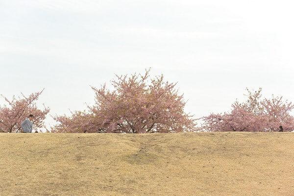 いせさき市民のもり公園 桜