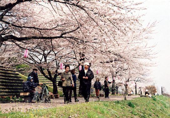 渋川市桜まつり1