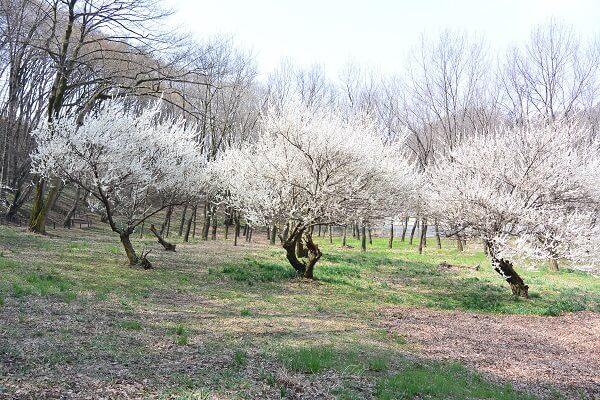 梅の花 岩宿の里