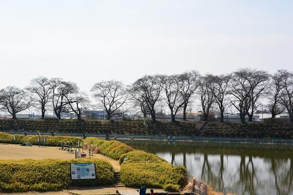 鹿の川沼 桜並木