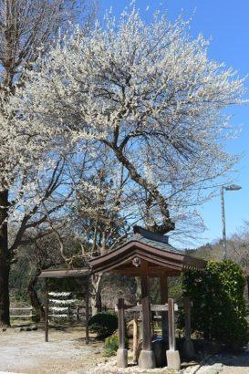 宝積寺の梅