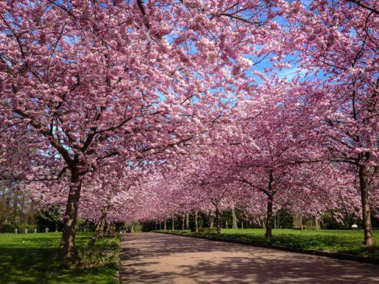 しんまち桜まつり 桜並木