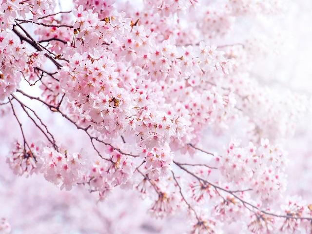 高崎 お花見 おすすめ 名所