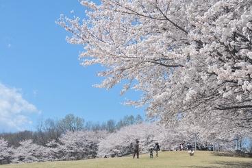 ふじふれあい館 桜