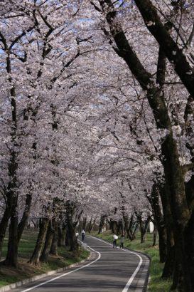 赤城南面千本桜1