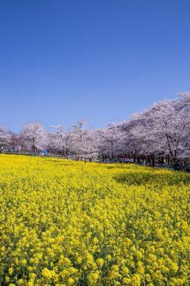 赤城南面千本桜 菜の花畑