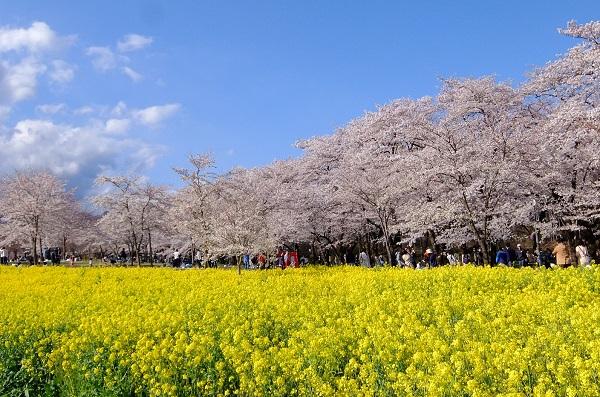 赤城南面千本桜 花見