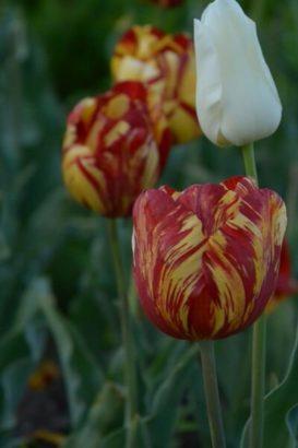 鼻高展望花の丘 チューリップ