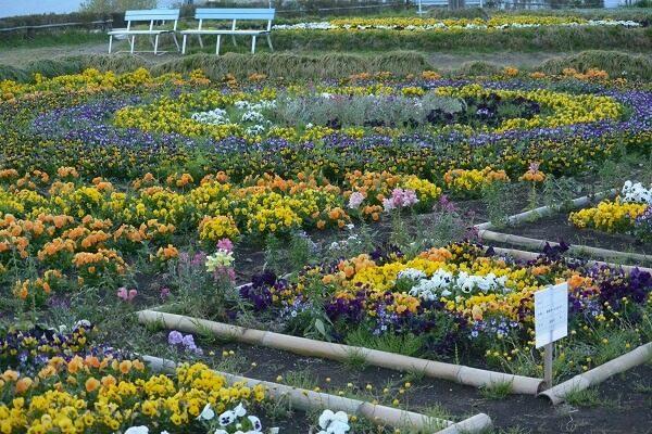 鼻高展望花の丘 菜の花