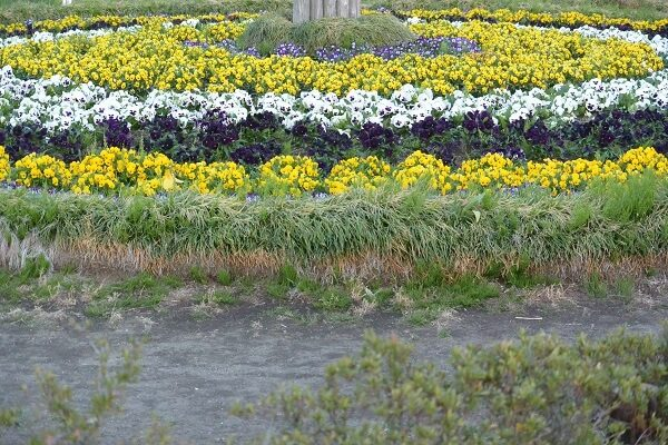 鼻高展望花の丘 パンジー