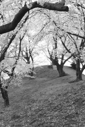 七輿山古墳 桜8