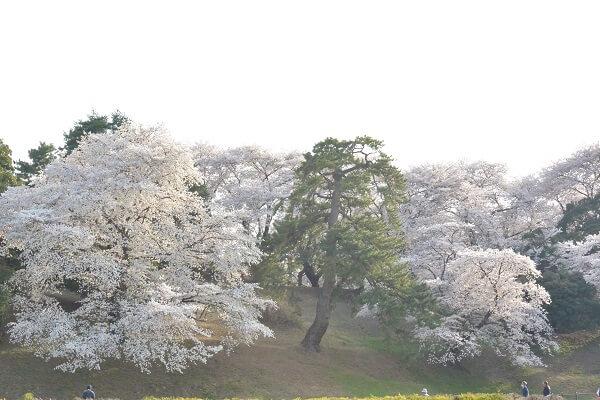 七輿山古墳 桜