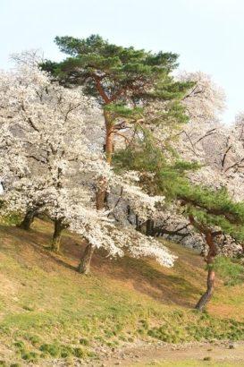 七輿山古墳 桜5