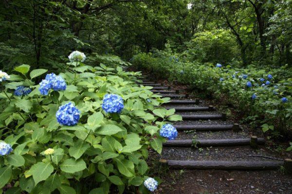 高崎市 牛伏山自然公園 アジサイ 群馬県