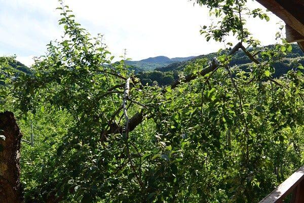 阿部りんご園 木