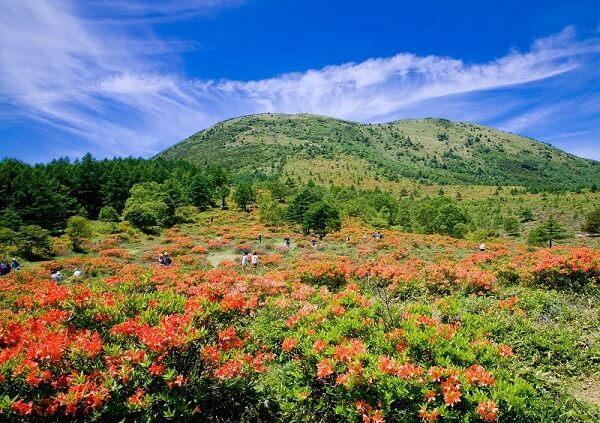 湯の丸高原レンゲツツジ 群馬県嬬恋村 見ごろ