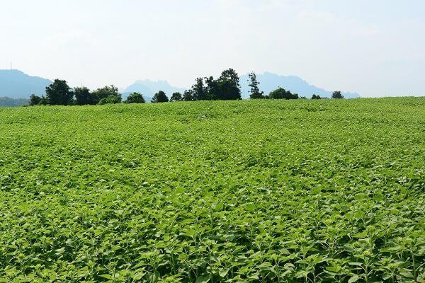 丹生湖 ひまわり畑
