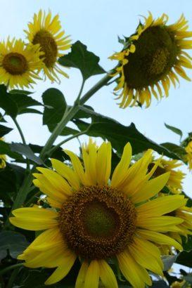 ひまわりの花アップ はにわの里 ひまわり 高崎市