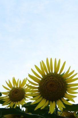 青い空に映える黄色いひまわりの花 はにわの里 ひまわり 高崎市