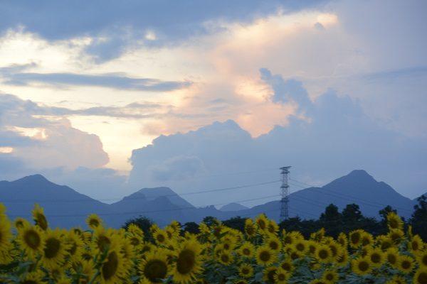 ひまわり畑の向こうに榛名山 はにわの里 ひまわり 高崎市