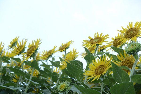 空に向かって咲くひまわりの花 はにわの里 ひまわり 高崎市