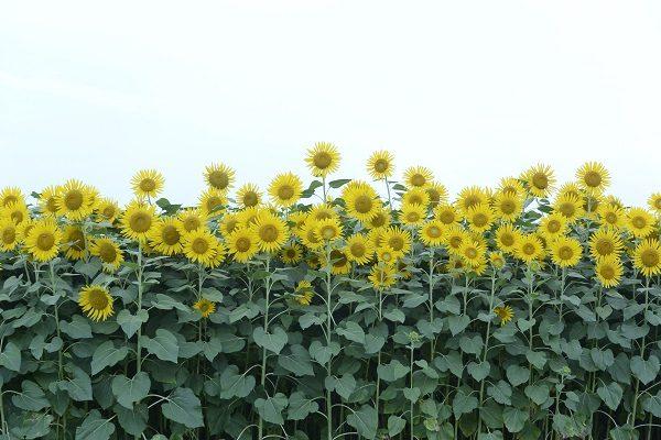 たくさんのヒマワリの花 はにわの里 ひまわり 高崎市