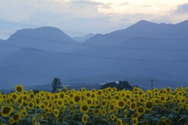 ひまわり畑から榛名山を望む