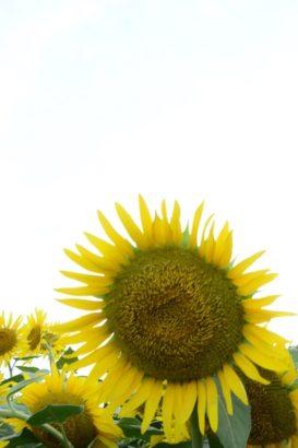 ひまわりの花 はにわの里 ひまわり 高崎市