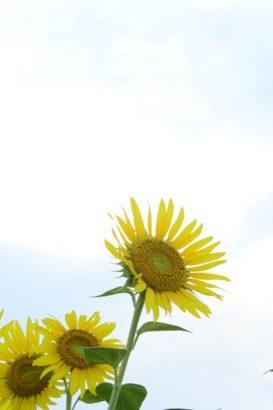 大きく咲くひまわりの花 はにわの里 ひまわり 高崎市