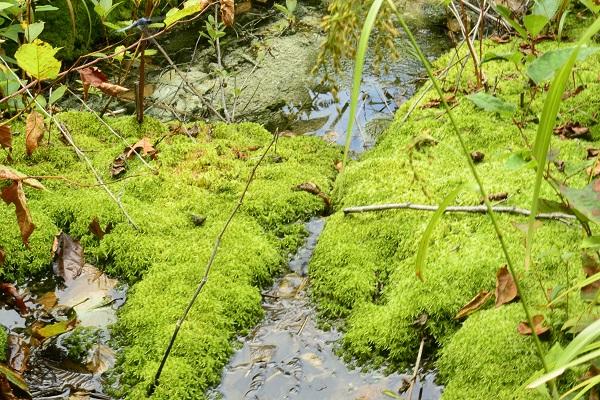 チャツボミゴケ公園 紅葉 苔