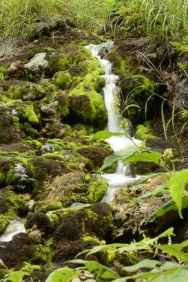 自生する苔 チャツボミゴケ公園 紅葉 苔
