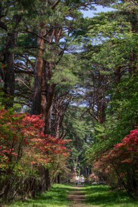 赤城神社参道松並木 つつじ 群馬