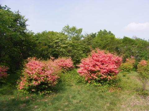 渋川市伊香保森林公園つつじが丘 つつじ 群馬