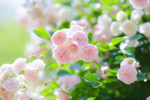 バラ ピンクホワイト
